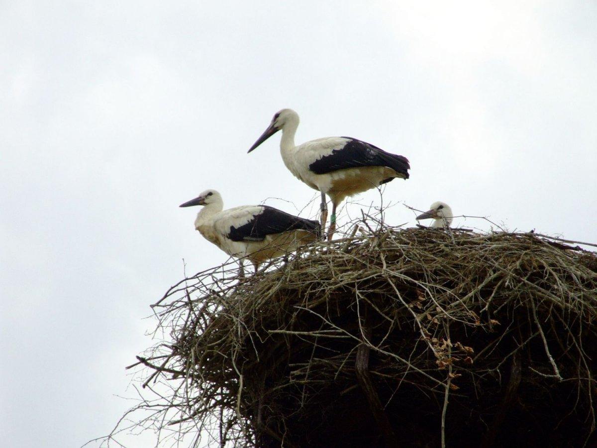 Młode bociany w gnieździe w Klekusiowie
