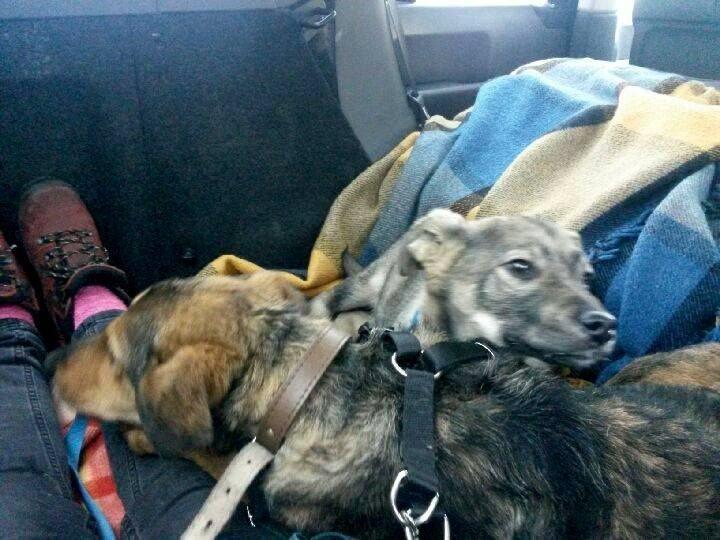 Psy z podbolesławieckiej wioski w drodze do nowego życia