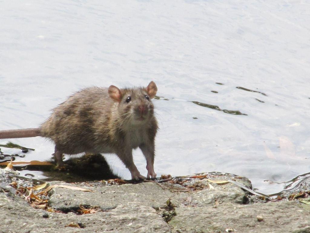 Szczury buszują przy miejskim stawie