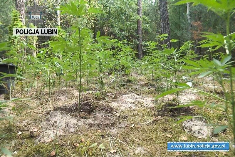 31-latek uprawiał marihuanę. Zabezpieczono ponad 150 krzewów