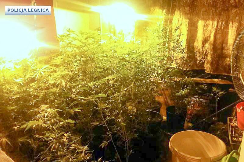 Uprawiali marihuanę. Policja zabezpieczyła kilogram narkotyku