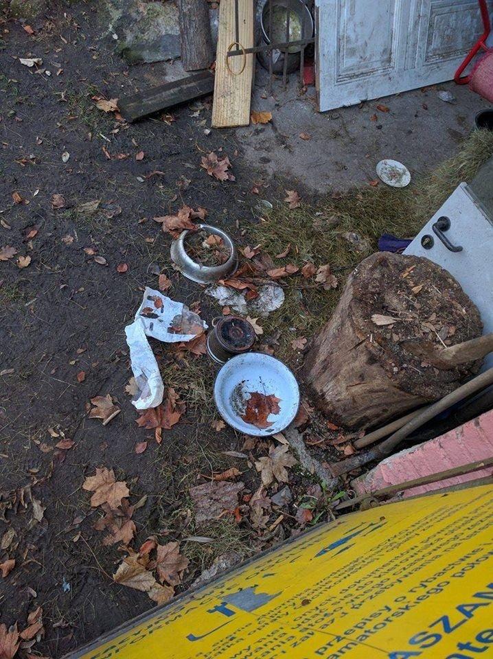 Suczka beagle z Lwówka Ślaskiego