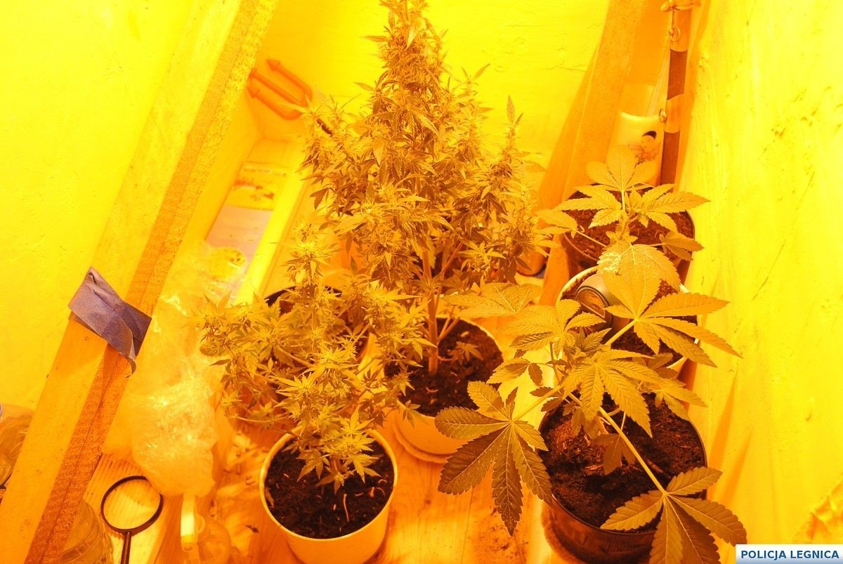 Domowa awantura doprowadziła do likwidacji plantacji marihuany