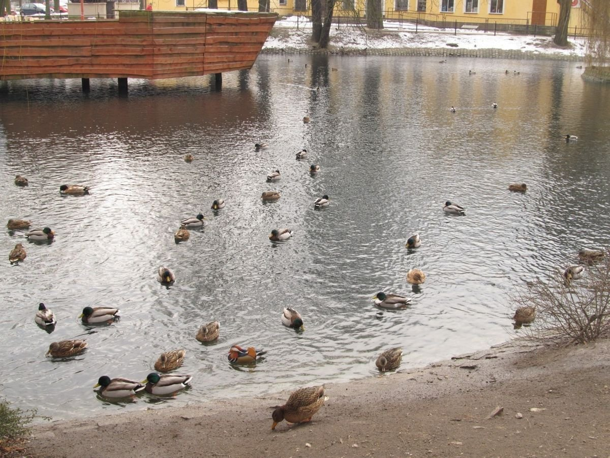 Samiec kaczki Mandarynki na miejskim stawie