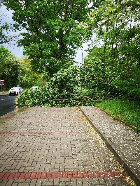 Powalone drzewo na Śluzowej w Bolesławcu
