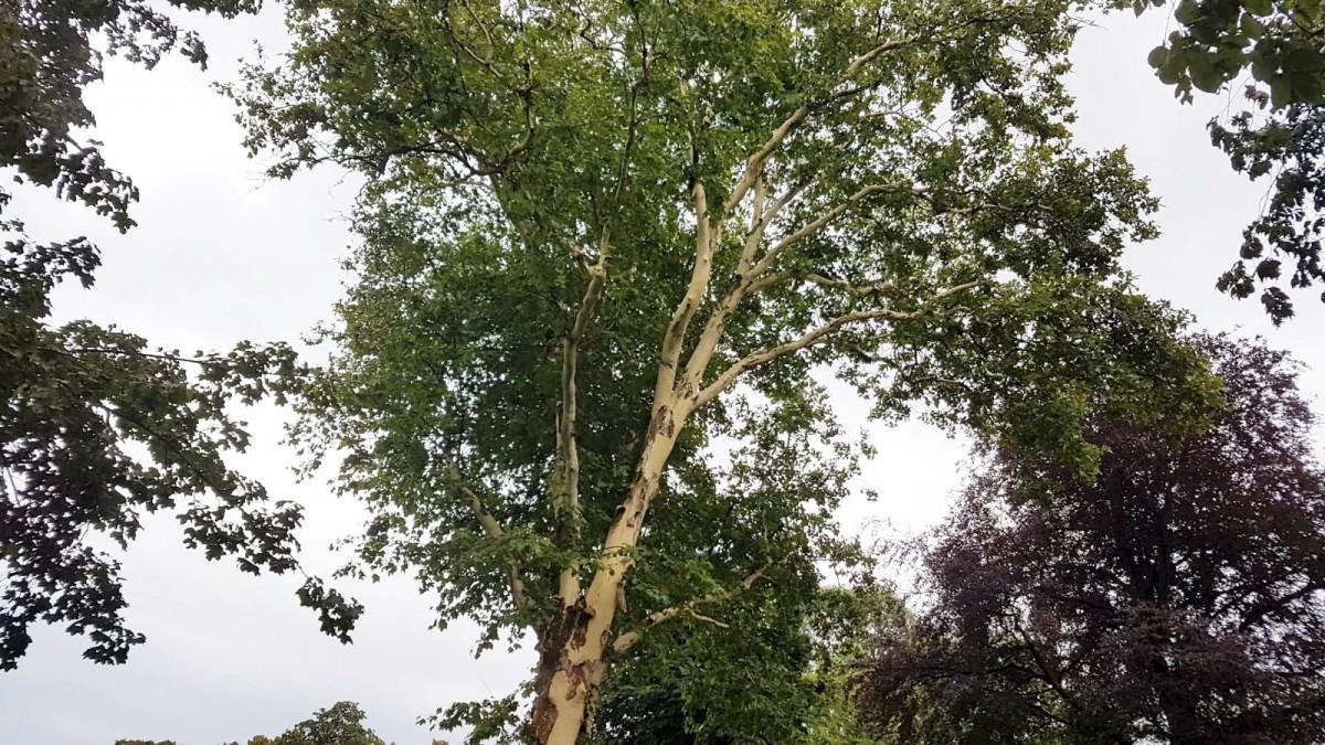 Drzewo bez kory w okolicy Sądu Rejonowego w Bolesławcu z-index: 0