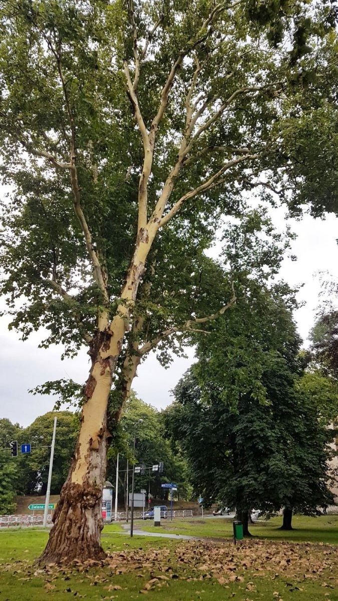 Drzewo bez kory w okolicy Sądu Rejonowego w Bolesławcu