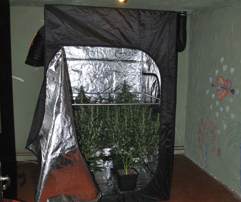 Krzaki marihuany wśród pomidorów. 40-latkowi grozi do 8 lat więzienia