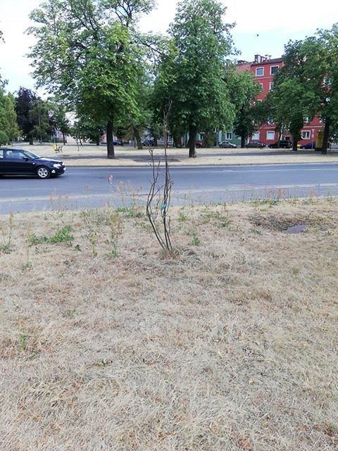 Drzewa na placu przy dworcu PKP w Bolesławcu (ul. Chrobrego)