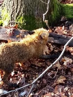 Kłusownik złapał lisa we wnyki. Zwierzę długo umierało w męczarniach