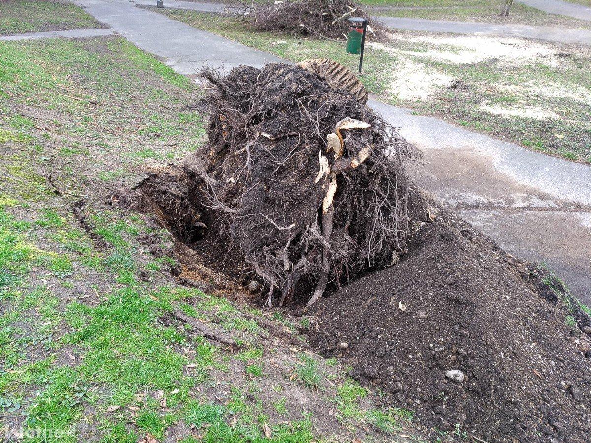 Huragan Julia wyrwał drzewo z korzeniami przy pl. Wolności w Bolesławcu