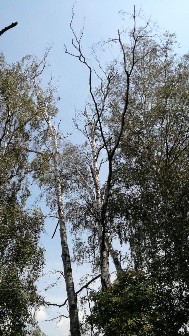 Uschnięte brzozy przy alei Tysiąclecia w Bolesławcu