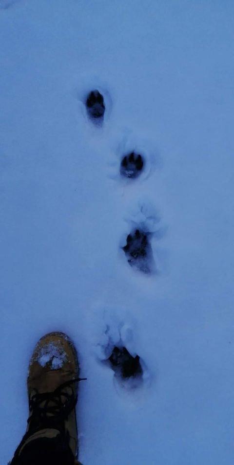 Wilcze ślady na śniegu