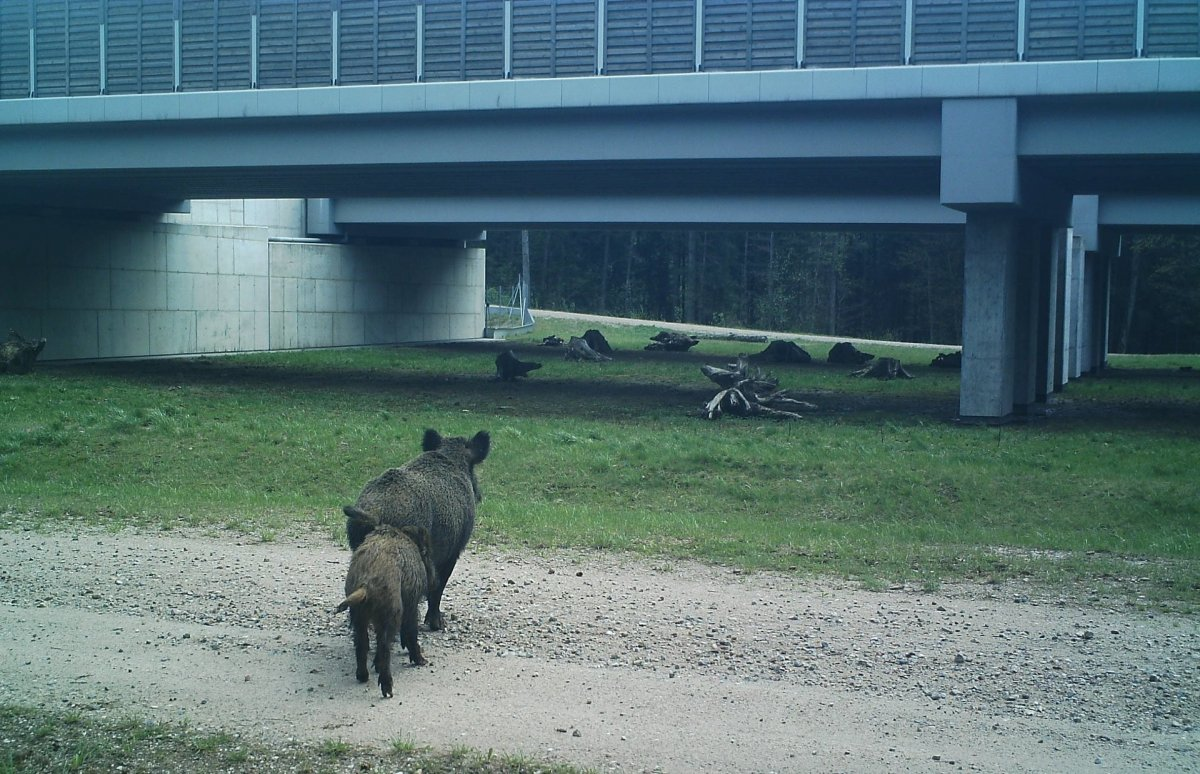 Zwierzęta zarejestrowane za pomocą kamer GDDKiA