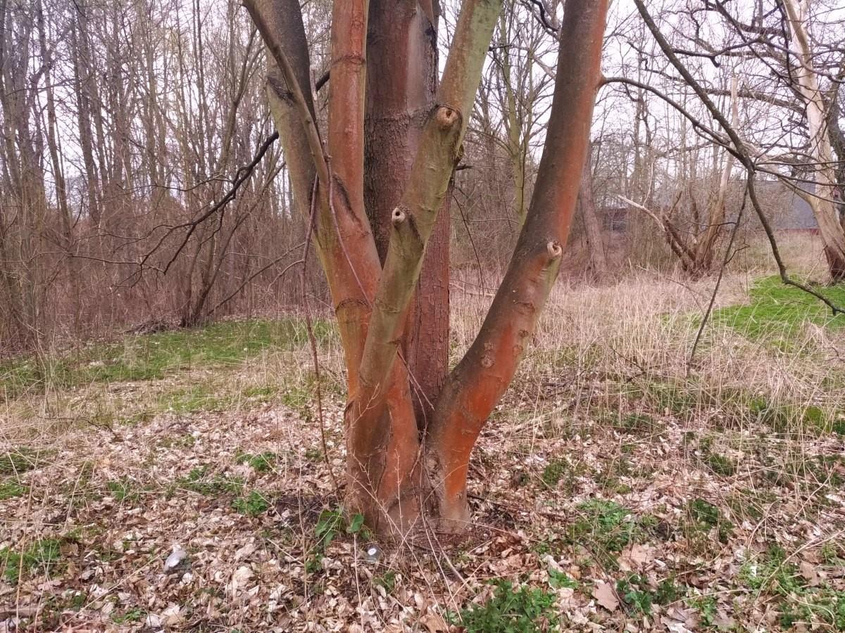 Drzewo z czerwonym nalotem