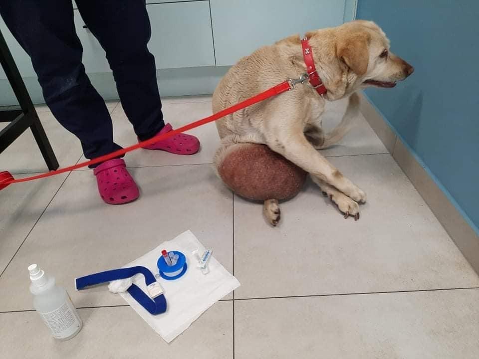 Labradorka Rita przed operacją